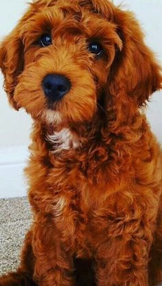 Our beautiful red F1 Cockapoo Darcy is expecting a litter of F1b Cockapoo puppies on the 13th December ready to leave at the end of January. F1bs are ...