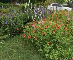 Wildflower meadow in my front yard.  2015.