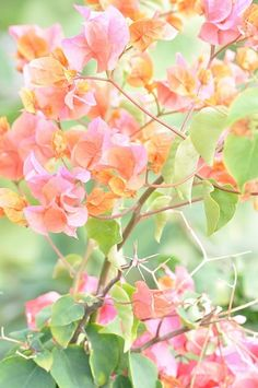 I love bougainvillea.  How I wish we had those in our garden.