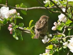 Sparrow on Apple Blossom Little Birds, Love Birds, Beautiful Birds, Champs, Felder, My Secret Garden, Jolie Photo, Spring Garden, Bird Feathers