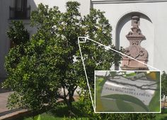 Tan difícil encontrar frutales en el centro de Santiago, que la trampa de mosca de la fruta asociada a dicha área está... en el Patio de Los Naranjos del Palacio de La Moneda