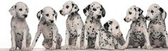 pictures of puppy dalmations   dalmatian puppies Miss my Dal....