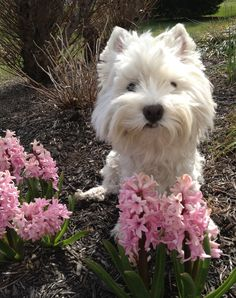 """Yearly """"class picture"""" with the hyacinth.  #westie #westies"""