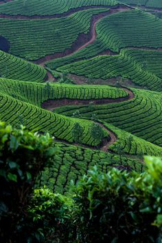 A tea plantation up in the mountains of Kerala, India. #TeaField #TeaCultivation