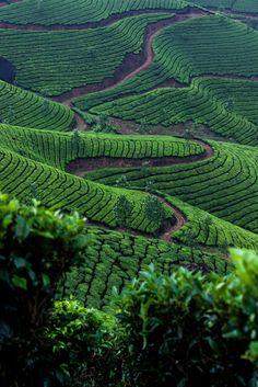 A tea plantation up in the mountains of Kerala, India. #TeaField #TeaCultivation