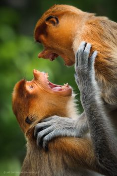 Proboscis Monkeys | Borneo