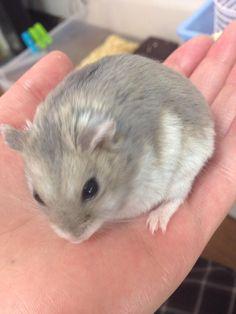 Fluffy Hamster <3