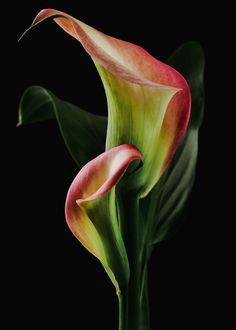 Copo de leite- Two calla lilies by Lee Wilkerson on Flora Flowers, Flowers Nature, Exotic Flowers, Tropical Flowers, Beautiful Flowers, Flower Wallpaper, Flower Photos, Watercolor Flowers, Flower Art