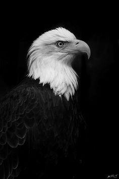 eagle - beautiful