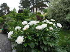 Høsten er perfekt tid for å dele og flytte stauder Hygge, Perennials, Roots, Autumn, Flowers, Plants, Instagram, Gardens, Fall Season