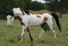 Innishfael Dragon  Buckskin overo partbred Arabian stallion he is standing at Innishfael Farm
