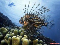 Ngắm hình ảnh cá sư tử đẹp mạnh mẽ ấn tượng nhất rực rỡ giữa đại dương