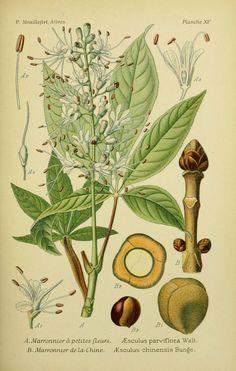 img/dessins arbres arbrisseaux/dessins arbres et arbrisseaux 0071 marronnier a petites fleurs - aesculus parviflora.jpg