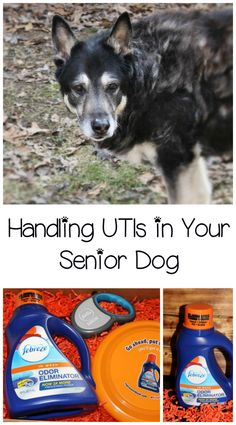 Dealing with a UTI in dogs is always a challenge, but in senior dogs it's especially difficult. Learn what to expect and how to get both of you through it, plus see how Febreze in Wash Odor Eliminator can help cut down on odors! (sponsored)