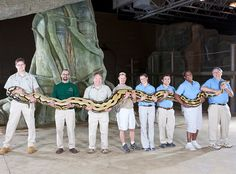 A 24-ft (7.3-m) reticulated python called Fluffy longest living snake | 40 Guinness World Records 2012