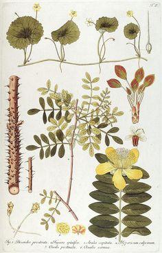 Plate 6, Fragmenta botanica, figuris coloratis illustrata. Vienna, 1809.