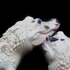 Leucistic alligators