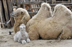Bactrian Camel? with baby