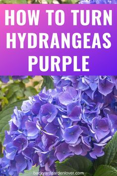 Hydrangea Varieties, Hydrangea Bloom, Hydrangea Care, Hydrangea Not Blooming, Hydrangea Flower, Peony, Hydrangea Color Change, Hydrangea Colors, Hydrangeas