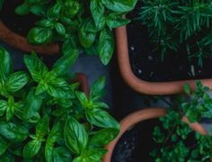 An urban farming company is using QR codes in food packaging to offer consumers the chance to learn the history of the herbs they are eating. Horticulture, Laurier Sauce, Chicken Barley Soup, Agriculture Durable, Vegan Bodybuilding, Potted Trees, Vegan Animals, Vegan Beauty, Companion Planting