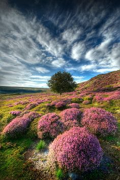 Heather North Yorkshire Moors.