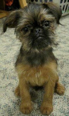 Everyone meet Zoe; another tumblin Griffon cutie