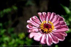[2014 - Ponte de Lima - Portugal] #fotografias #flor #flores #flower #flowers