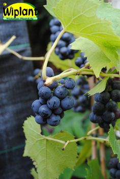 Vitis 'Mika', vinranka. Blåa druvor. Rätt härdig. Kan odlas utomhus på varm plats.