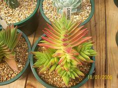 Crassula capitela 'High Voltage' [Family: Crassulaceae]