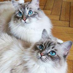 Its #bluemonday and we have a feature of double-trouble these cute bluetabby siblings Kira and Krümel @mylovelybirmans #birmavanner #heligbirma #birma #sacredbirman #birmania #birmanie #pyhäbirma #instabirmans #birmansofinstagram #whitecats #blueeyes #fluffycats #catsofinstagram #cats #kittens #instakittens #kittensofinstagram #tabbycats #tortiecats #toocute #beautifulcats #blåtabby #bluetabby