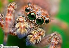 My absolute favorite spider: Salticidae (jumping spiders)! Look at those gorgeous eyes! Fotografia Macro, Funny Animal Memes, Funny Animals, Cute Animals, Smart Animals, Animal Captions, Regard Animal, Itsy Bitsy Spider, Jumping Spider