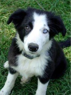 oh que perro!: ¿Por qué hay perros con ojos de distinto color?