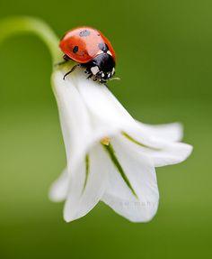 Ladybird,  coccinelle, lumineux et tout en douceur... adorable!:-)