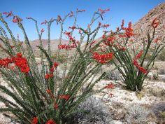 Anza Borrego | Hunting for Anza Borrego Wildflowers - 2012 - Ocotillo Cactus in bloom