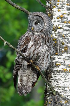 One of my first opportunities to photograph a Great Gray Owl in the spring / summer. Riding Mountain National Park, Great Grey Owl, Gray Owl, Animal Totems, Beautiful Birds, Owls, Raptors, Bison, Peacocks