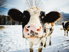 happy cows are in vermont