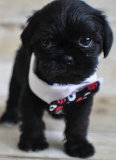 teacup pugshire - Google Search Pug Mix, Teacup Yorkie, Friends Forever, Pugs, Tea Cups, Cute Animals, Puppies, Yorkshire, Hearts
