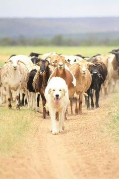 Leader of the pack is bringing them home. <3