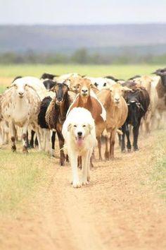 Livestock guarding dog project.