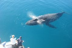 Brush up on your trivia with these fascinating facts to about humpback whales in Queensland inform your next marine wildlife adventure. Whale Watching Tours, Humpback Whale, Whales, Great Photos, Animals Beautiful, Dolphins, Underwater, Freedom, The Past