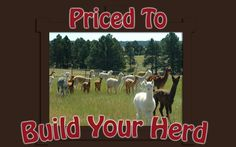 Don't Miss this Opportunity to Add these Genetics to Your Herd! #AlpacaForSale
