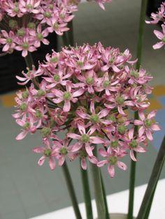 Allium-Pink Jewel-BrentAndBeckysBulbs.JPG (1704×2272)