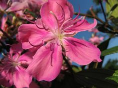 native brazilian flowers | ... Granulosa KATHLEEN) flower. Parque CERET Sao Paulo. Brazilian native