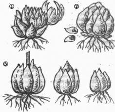 Выращивание и посадка лилии. Размножение лилий