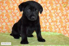 Mix puppy for sale in ohio hunter german shepherd mix puppy for sale