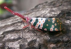 Lantern bug (Pyrops candelaria) is a species of planthopper that lives in Vietnam, Hong Kong, Laos, Thailand and other parts of southeast Asia. Members of this genus are sometimes called lanternflies. Despite their name, lanternflies do not emit light. They are often sought out by collectors.