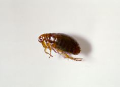 If you want to get rid of fleas everlastingly, you can't just treat your pet, you must take care of your home as well. We offer treatment for fleas, ticks, ants, termites and roaches in homes. Our staff at Critter and Pest Defense includes fully trained, licensed to resolve your Flea Exterminator problem in fastest and efficient manner.  Get more info here: http://www.critterandpestdefense.com/services/flea-extermination/