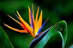 flower-wildflower-bird-of-paradise-floral-66243.jpeg (2000×1333)