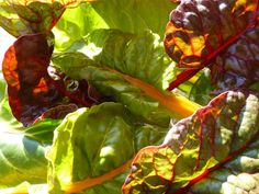 Bright Lights Swiss Chard is frost tolerant and is a colorful compliment to fall meals.