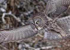 "cloudyowl: "" Great Grey Owl by Mémélie "" Great Grey Owl, Owl Art, Embedded Image Permalink, Wildlife, Photos, Bird, Animals, Wings, Nature"